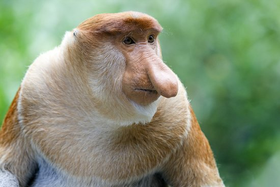 Penampang, Malaysia: Proboscis monkey or long nosed monkey is a large species that can be only found in southeast Islands in Borneo.