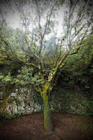 Garoé árbol Santo Valverde 2019 Alles Wat U Moet Weten Voordat