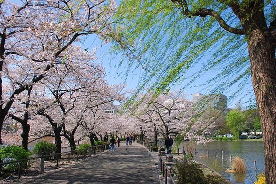 Tokyo Cherry Blossom Walking Tour in...
