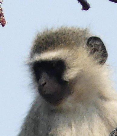 monkey in tree outside our villa