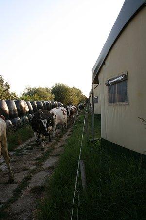 Kamerik, Holandia: Morgens und Abends wandern die Kühe hinter den Zelten vorbei :-)