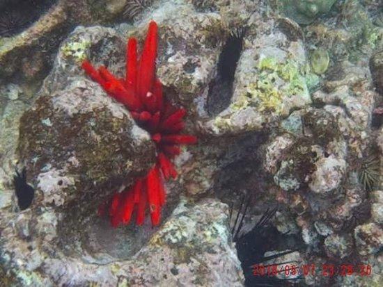 Honaunau, Hawái: Sea urchins