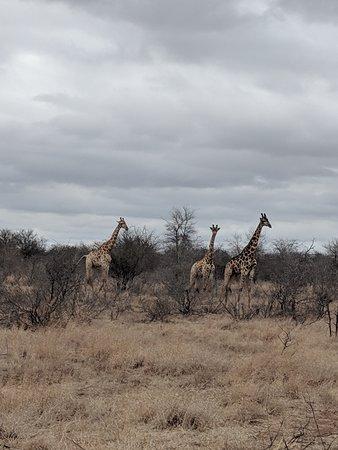 Some girafe walking
