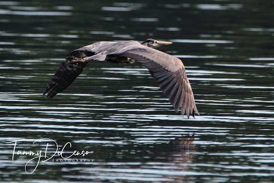 Oakland, ME: Great Blue Heron gliding across the pond