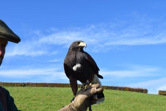 North Devon Hawk Walks : Cassius.