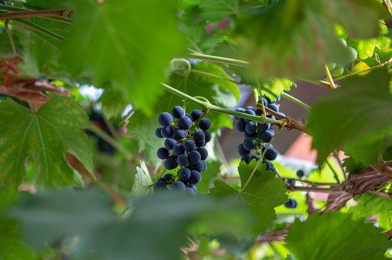 Döbeln, Alemanha: Weinranken im Wintergarten