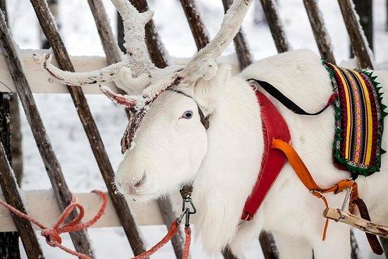 Safari aux rennes de Laponie à partir...