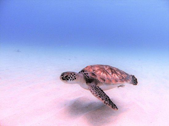 Rebel Diving Curacao: turtle whisperer