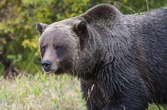 Ontdek Grizzly Bears uit Banff