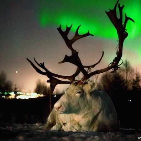 Northern Lights and Reindeer
