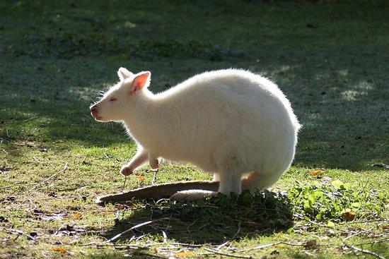 Mecklenburg-West Pomerania, Germany: Albino-Känguru