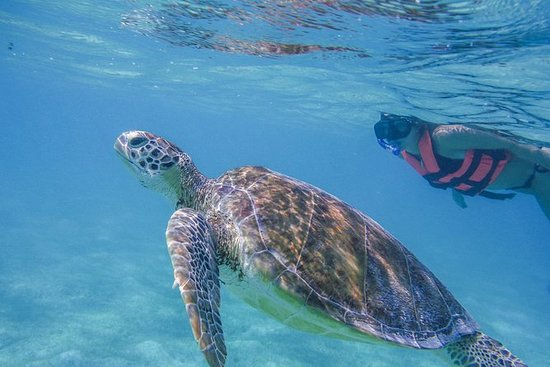 Turtle Snorkeling Adventure from...