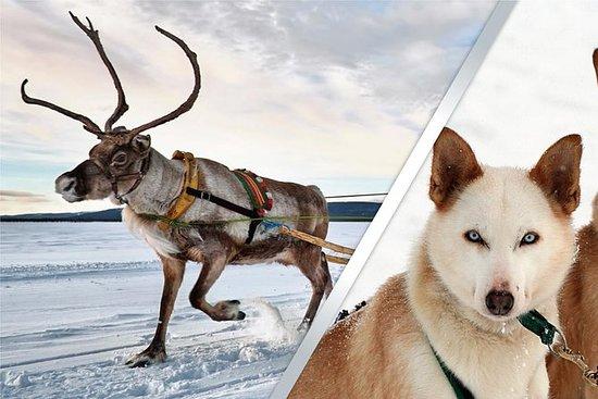 Reno de Laponia y Husky Safari de...