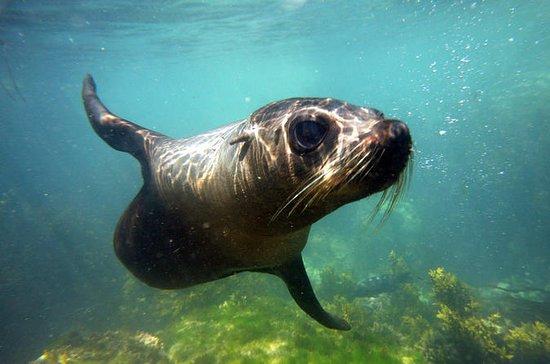 Robbenschwimmen von Kaikoura aus