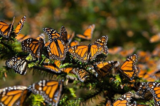 Butterfly Monarch Tour fra Mexico City