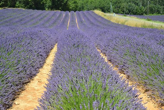 Small-Group Day Trip to Lavender Fields...