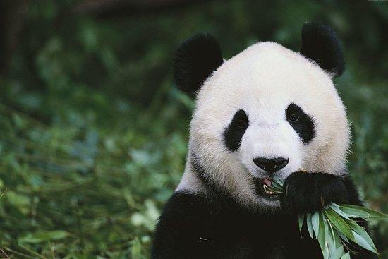 72 Hours Visa Free Chengdu Highlights...