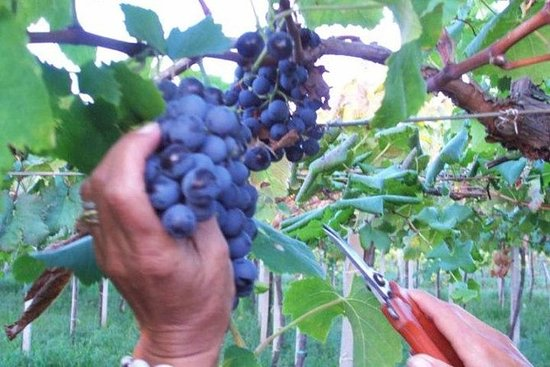 Private grape harvest experience in...