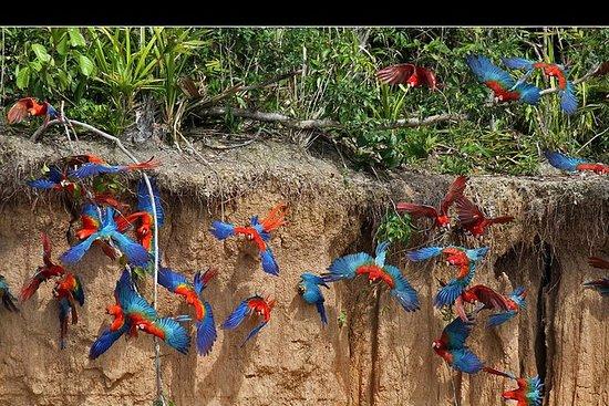 Macaw Clay Lick 2 dager og 1 natt