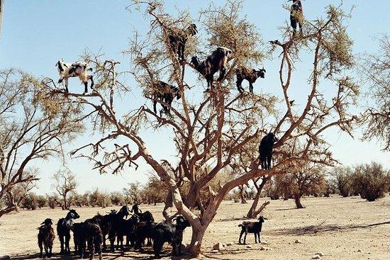 Ziegen auf der Baumreise in Agadir