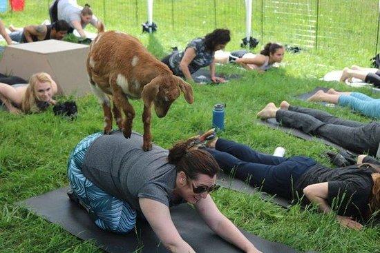 Goat Yoga em pitoresca Snohomish, WA
