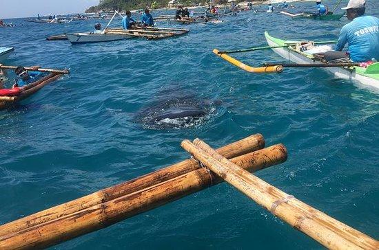 Whaleharks Interaksjon og Sardiner...