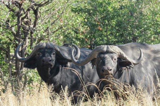 11 jours de safari de buffle