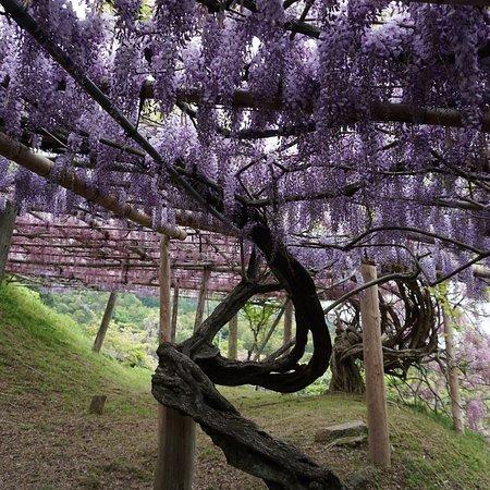 Фотография Сад цветов Кавати Фудзи вгороде Китакюсю