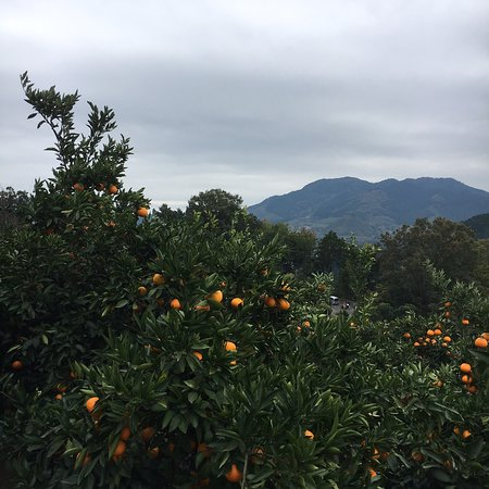 Kenchan Orange Orchard