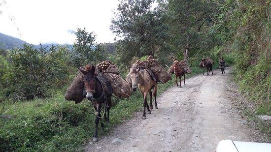 Tolima Department, Colombia: Mulas cargadas de Arracacha Corregimiento de Toche Ibague Tolima Ruta Salento- Toche