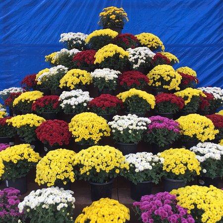 Koga, Japan: 菊の美しさを再発見できる