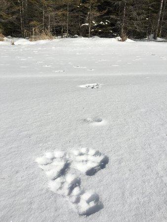 Isabella, MN: Canadian Lynx tracks