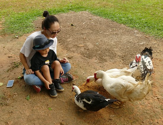 Tully, Australia: Farm experience - Feeding the ducks