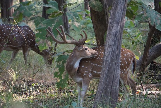 Pench Tiger Reserve: Spotted Deer