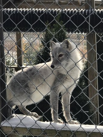 Smyrna, NY: arctic fox in process of changing for winter