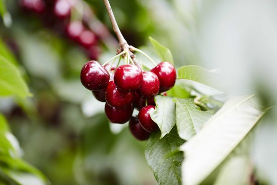 Yarra Valley Cherries