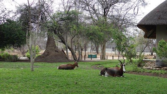 Mokuti Etosha Lodge: oryx au repos