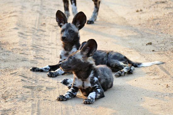 Mana Pools National Park, Zimbabwe: Absolut coole, junge Wildhunde