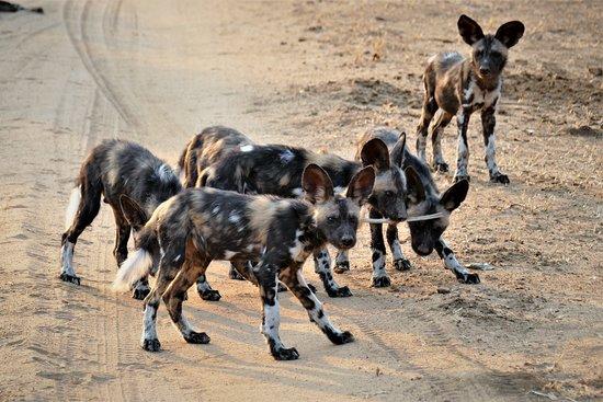 Mana Pools National Park, Zimbabwe: Verspielt wie normale kleine Hunde ... aber die armen Impalas fanden sie nicht gar so süss! Zwei Rudel waren in dem Gebiet; eines mit 7 Erwachsenen und eines mit 8 Grossen und 6 Teenis