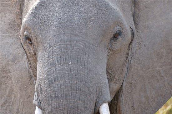 Mana Pools National Park, Zimbabwe: Schau mir in die Augen Kleines.   Die Elefanten im Mana Pool sind sehr friedlich und kommen sehr, sehr nahe
