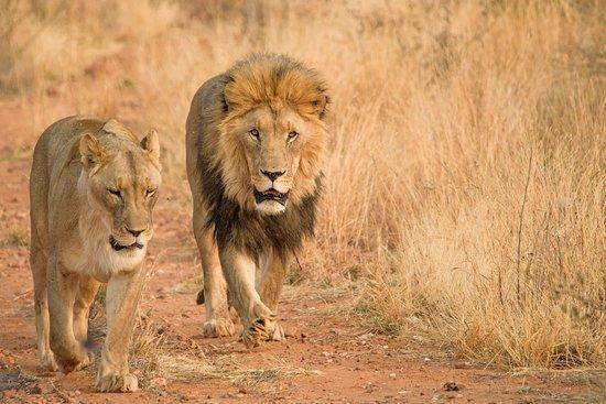 Naankuse Lodge and Wildlife Sanctuary: Löwen bei der Fütterungstour