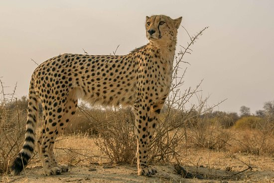 Naankuse Lodge and Wildlife Sanctuary: Gepard beim Spaziergang mit Gaparden