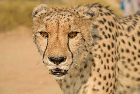 Naankuse Lodge and Wildlife Sanctuary: Gepard beim Spaziergang mit Geparden