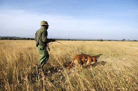 Dog Tracking at Ol Pejeta Conservancy