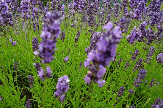 Lavender Fields and Festival Tour