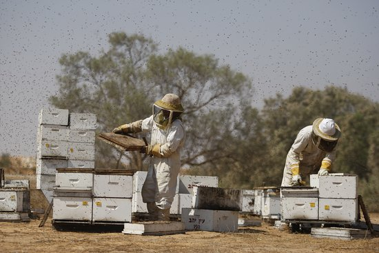 Ein Yahav, Israel: working in the apiary
