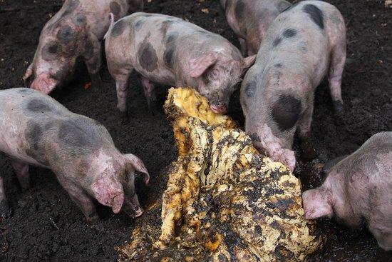 DierenPark Amersfoort: varkens in de modderpoel