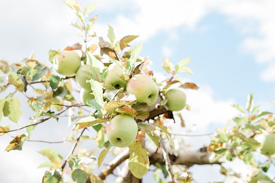 Beautiful apples available for picking.