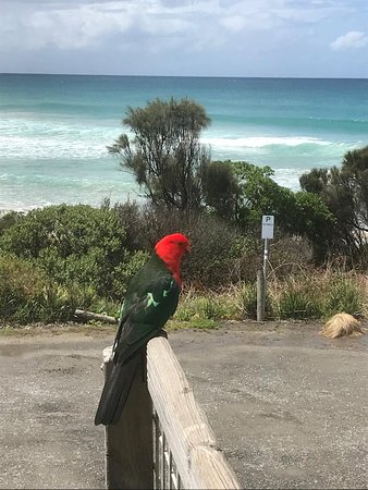 Wye River, Australia: King Parrot dropped by the say hello