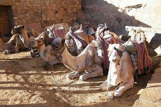 开罗的小组骆驼市场一日游